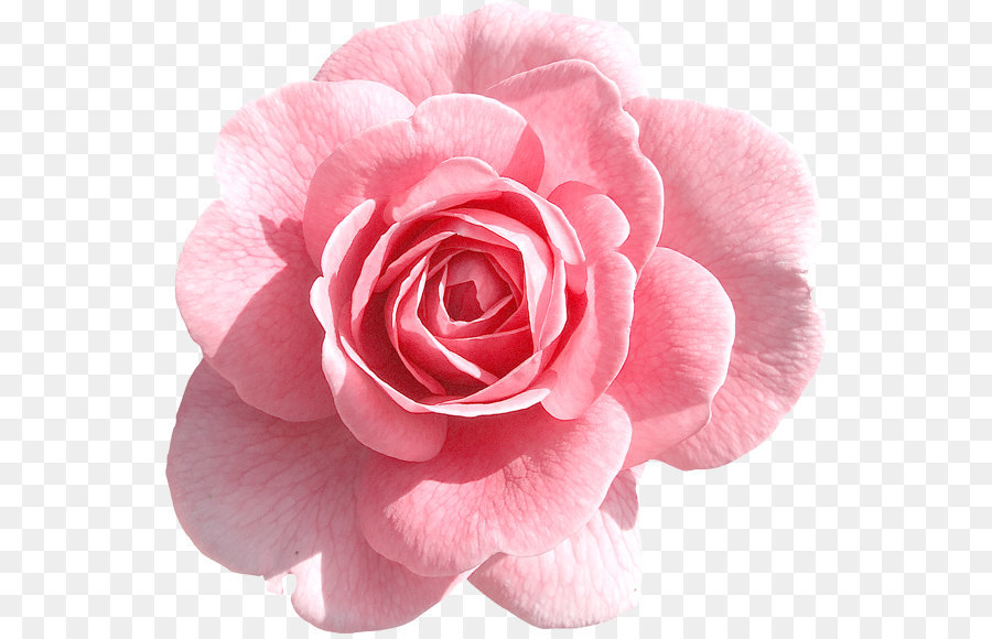 Light Pink Rose PNG Clipart Png