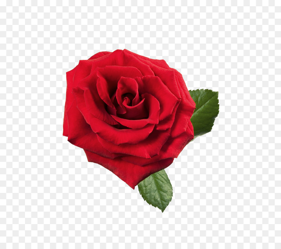 Rose Red Clip Art Large Red Rose Png Clipart Png Download 533