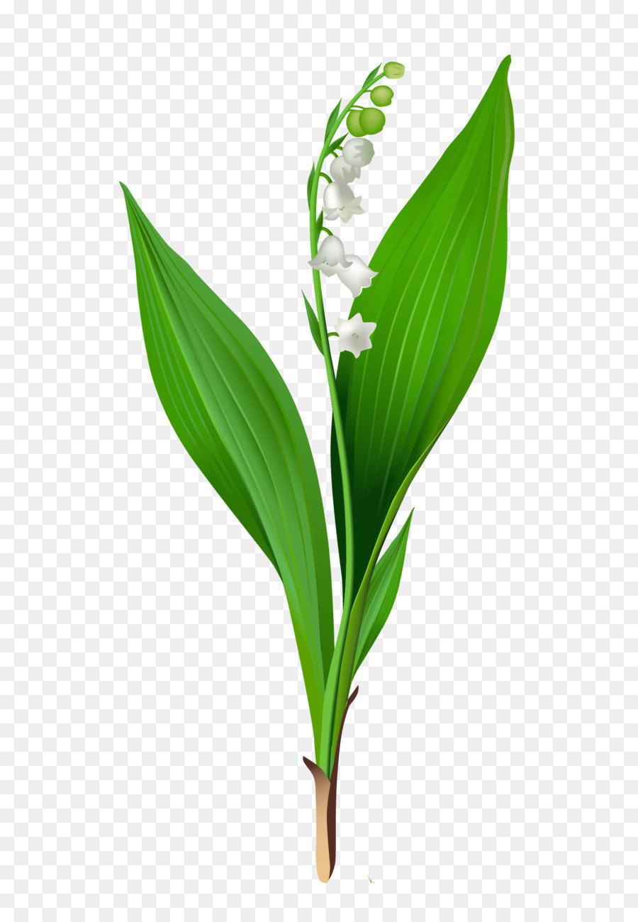 Lily of the valley arum lily flower clip art spring lily of the lily of the valley arum lily flower clip art spring lily of the valley png clipart izmirmasajfo