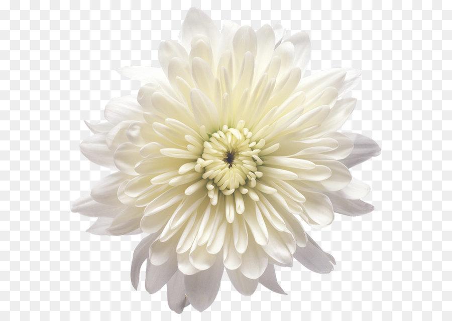 Flower white balloon white chrysanthemum flower transparent png flower white balloon white chrysanthemum flower transparent png clip art image mightylinksfo