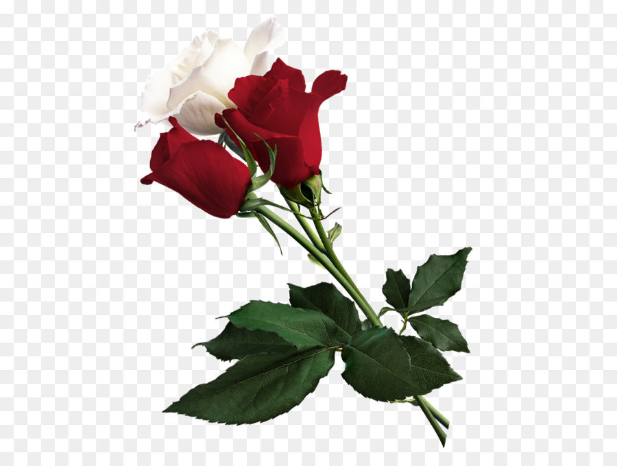 White rose of york flower red white rose of york white and red white rose of york flower red white rose of york white and red roses png picture mightylinksfo