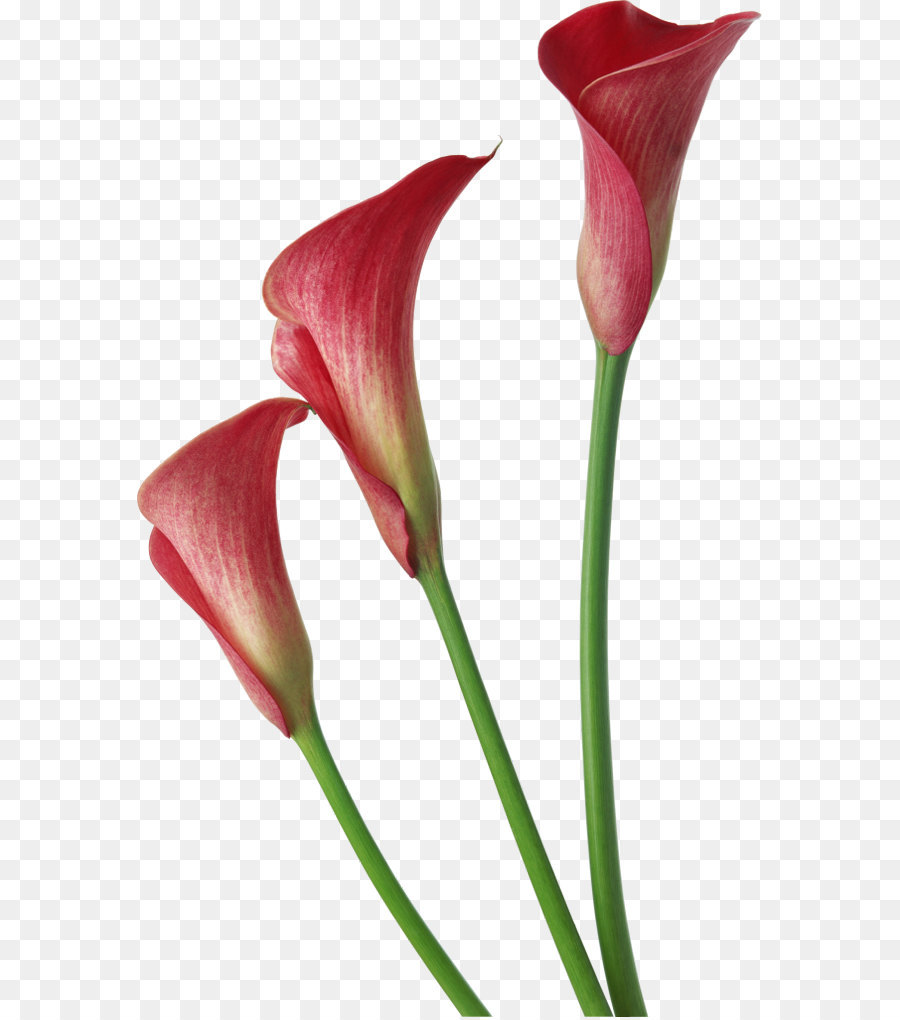 Arum Lily Flower Clip Art Red Transparent Calla Lilies Flowers