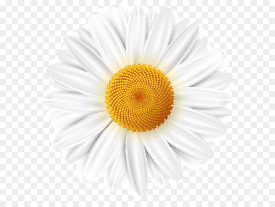 Common daisy Clip art - White Daisy Transparent PNG Clip ... White Daisy Flowers Clipart