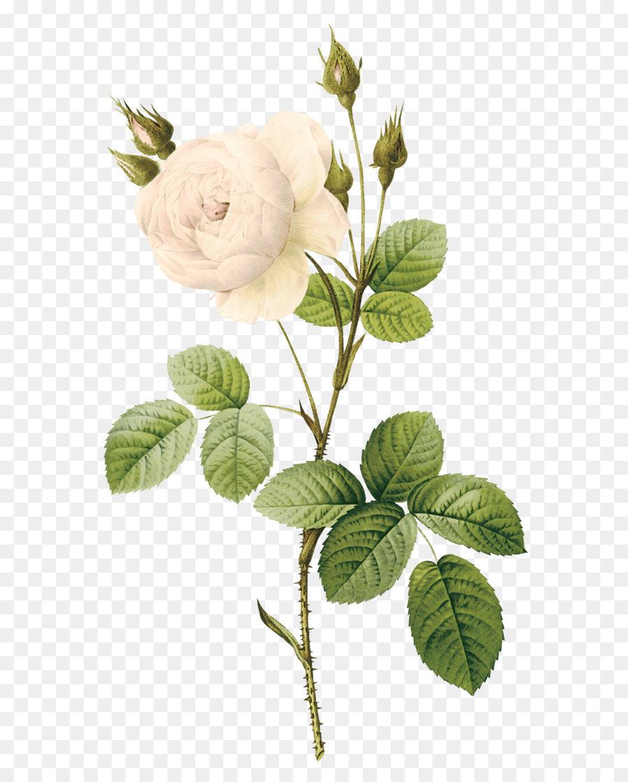Rose Flower White White Rose Png Image Flower White Rose Png