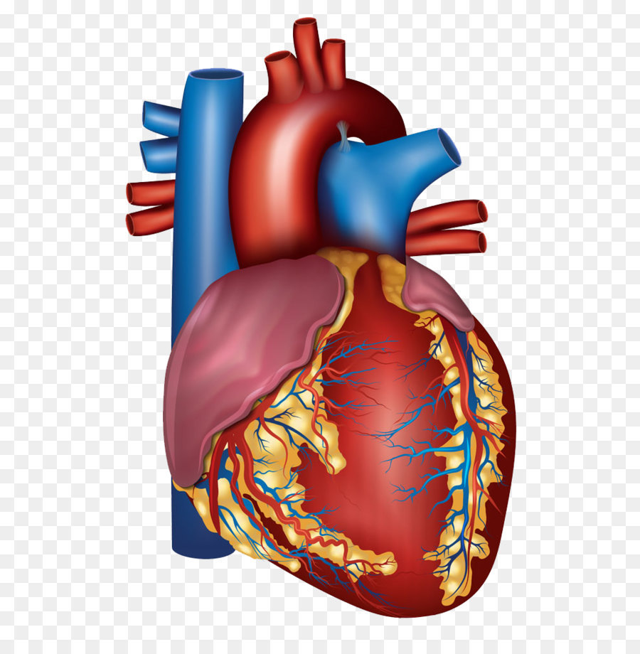 Blood Vessel Heart Circulatory System Artery Health Human Heart