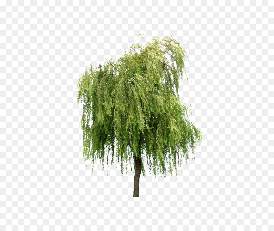 willow tree layers - willow trees png download