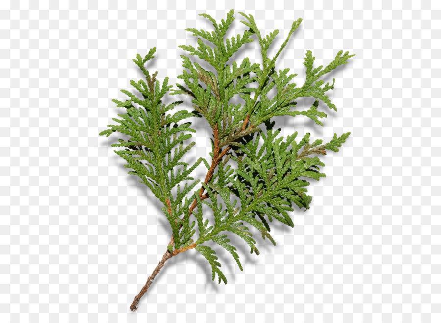 christmas tree fir branch christmas tree branches - Christmas Tree Branches