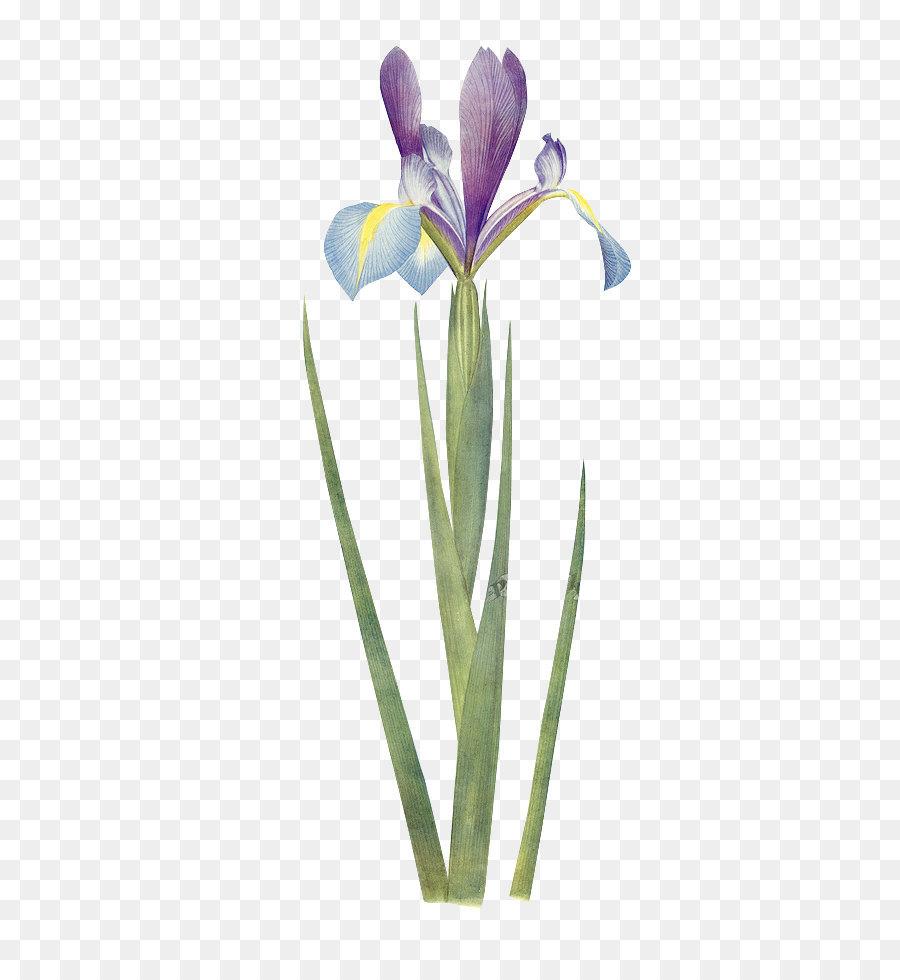 Iris xiphium botany flower botanical illustration wall iris green iris xiphium botany flower botanical illustration wall iris green floral material izmirmasajfo
