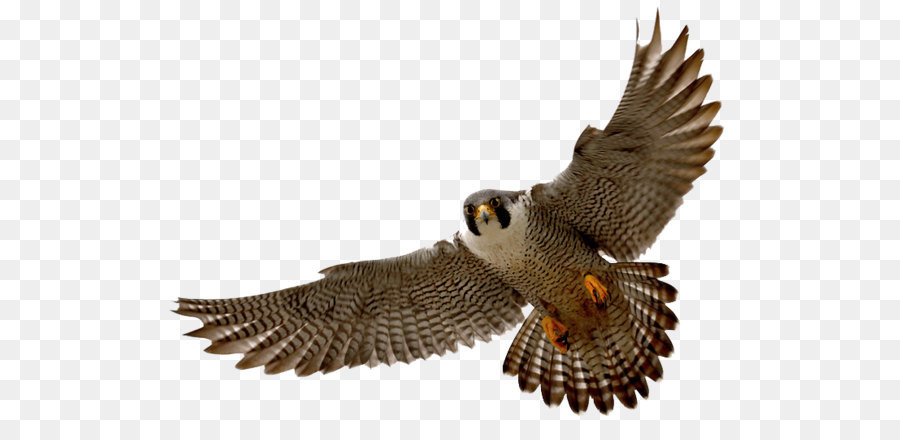 falcon clip art falcon png png download 800 533 free rh kisspng com falcon clipart images falcon clipart uae