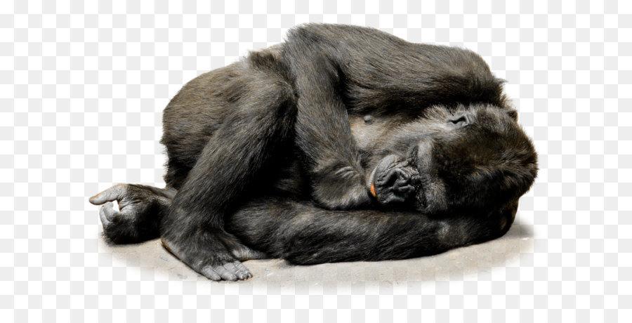 Gorilla Affen Primaten Affen Makake - Gorilla PNG png