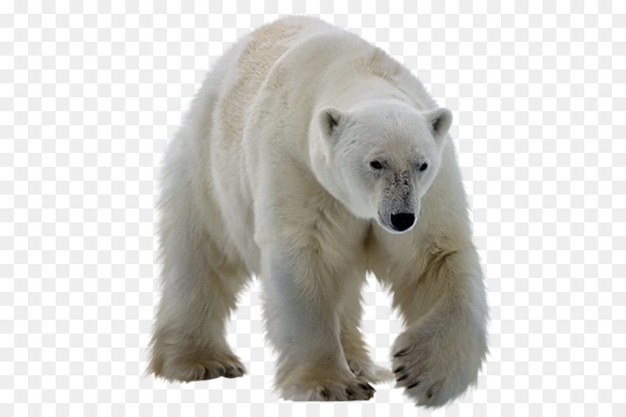 polar bear kodiak bear ursinae polar white bear png png