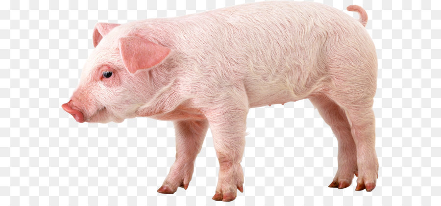 Domestic pig 1080p High-definition video Wallpaper - pig PNG image png download - 2397*1517 - Free Transparent Wild Boar png Download.