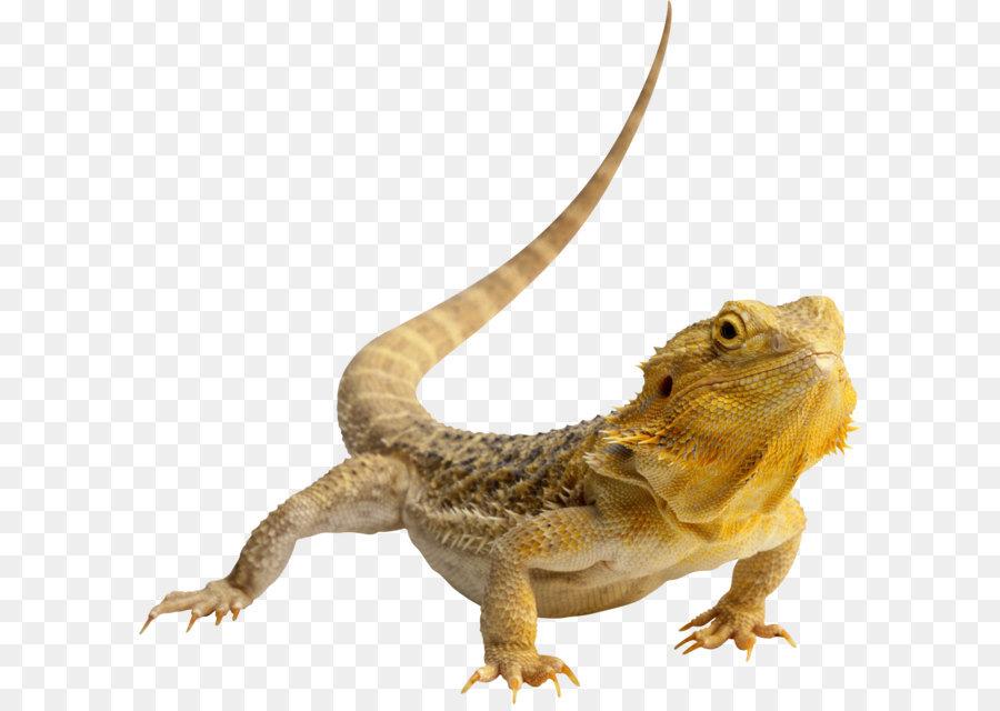 Central Dragón Barbudo Lagarto de Reptiles iguana Verde Clip art ...