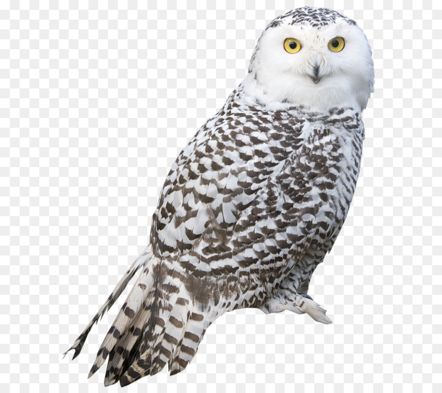 bird snowy owl true owl owl png png download 670 813 free