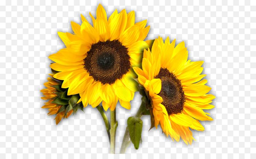 Sunflowers PNG Png Download
