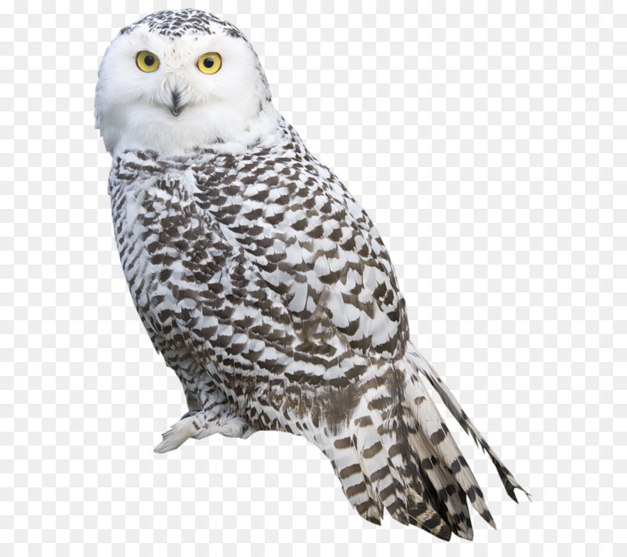 great grey owl snowy owl pillow feather owl png png download 678
