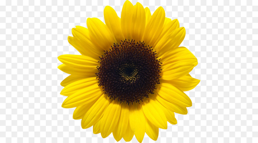 Common sunflower Sunflower seed - Sunflower PNG png ...