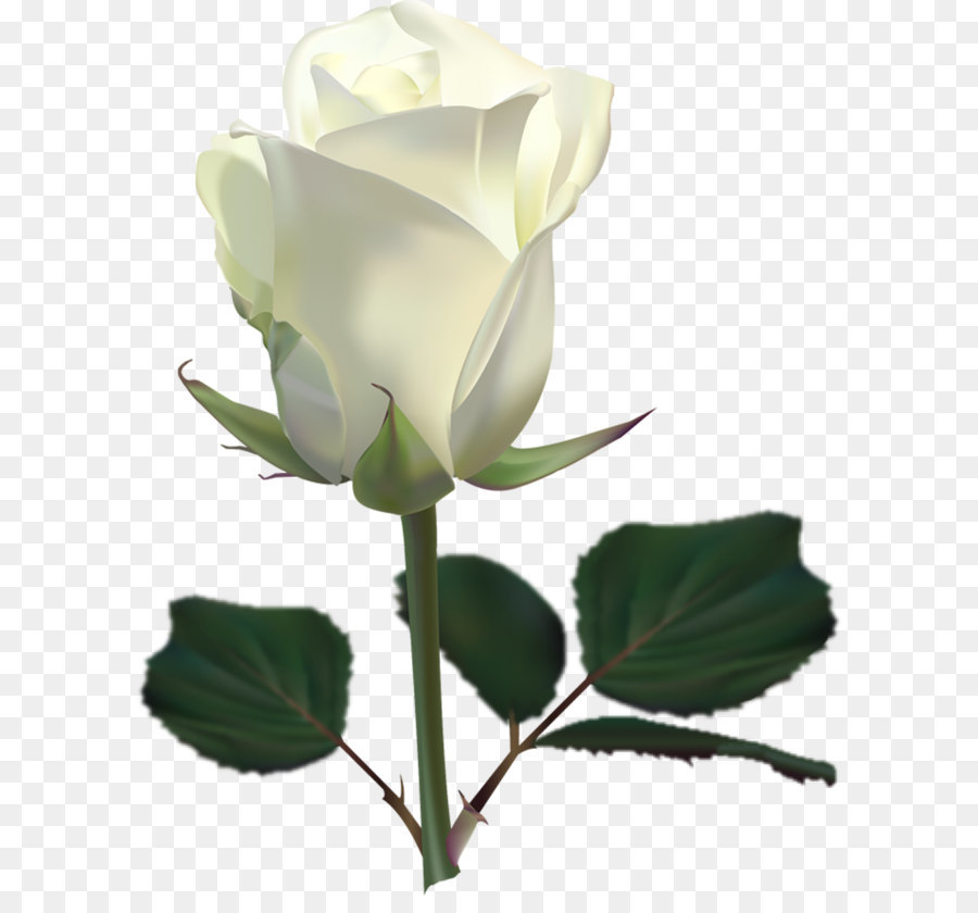 White rose png image flower white rose png picture png download white rose png image flower white rose png picture mightylinksfo