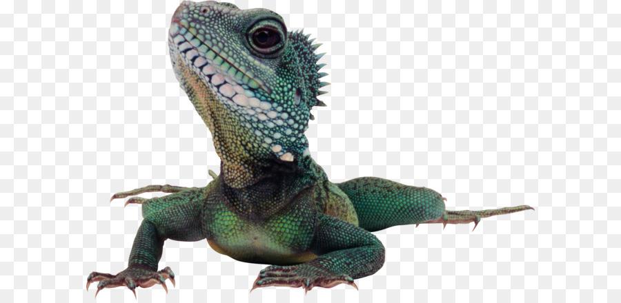Lagarto dragón de Komodo Reptiles iguana Verde - Lagarto PNG ...