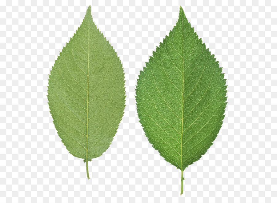 Foglia Foglia Verde Png Scaricare Png Disegno Png Trasparente