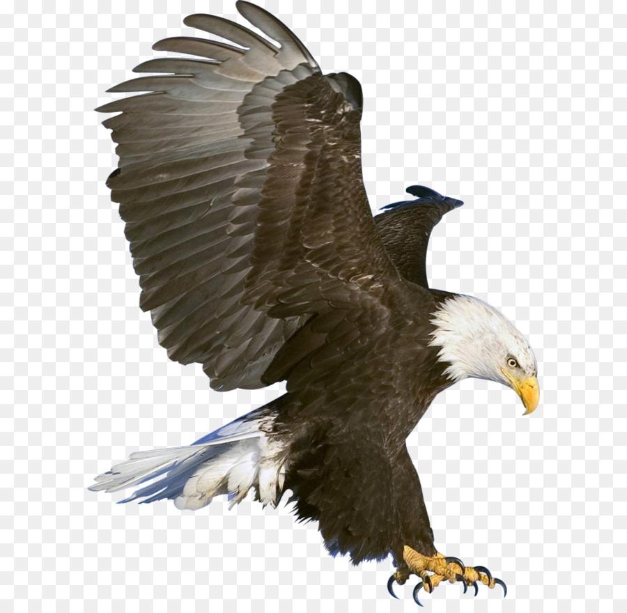 Bald Eagle - Eagle PNG image, free download png download - 772*1035 ...
