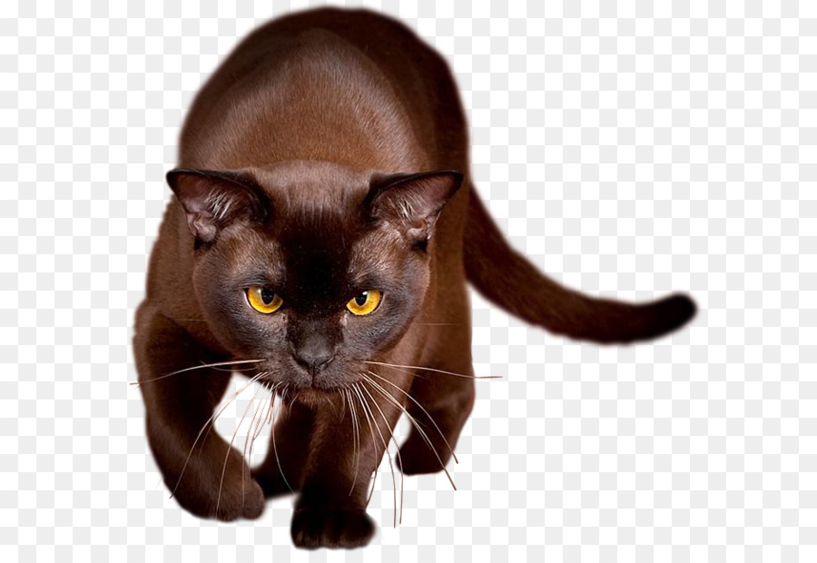 Brown Cat Is About Havana Kitten Color Shades Of Black Tabby Amber Eye Chocolate Yellow Photography