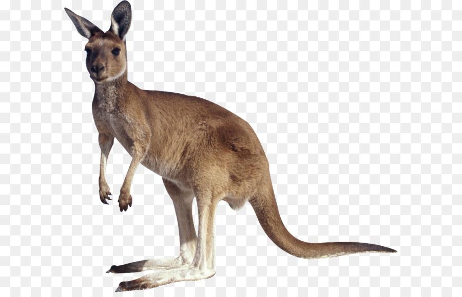 kangaroo clip art kangaroo png png download 1024 899 free