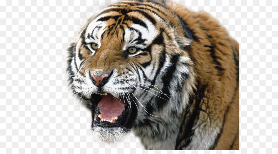 Siberian Tiger Lion Bengal Wallpaper