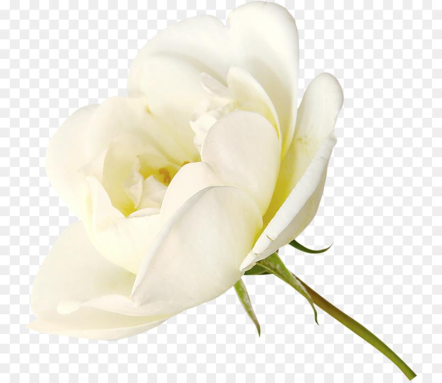 Rose White White Roses Png Download 800 776 Free Transparent