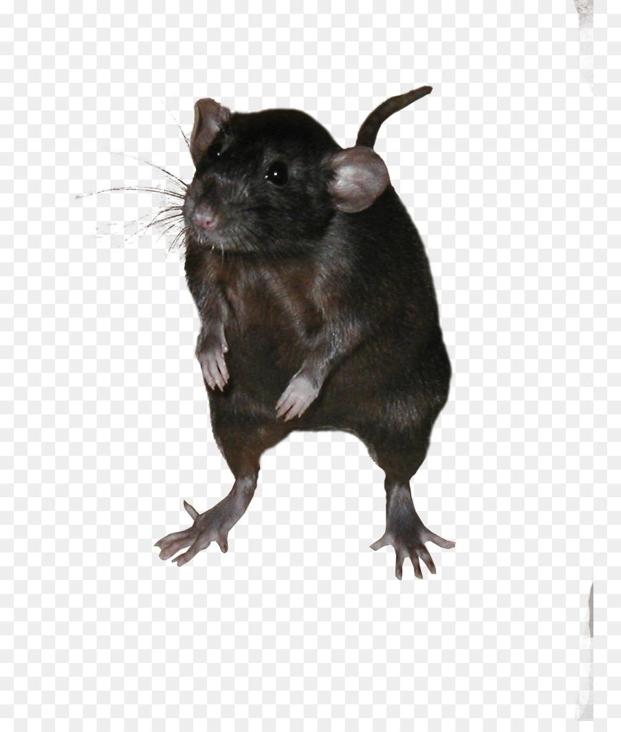 Ratón Jerbo Ricefield rata rata Negra de Roedores - Los ratones y ...