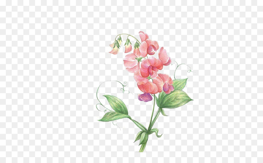 Pea Flower Png Download 540 560 Free Transparent Pea