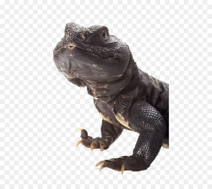 Común Iguanas Lagarto Uromastyx aegyptia Reptiles Uromastyx ornata ...