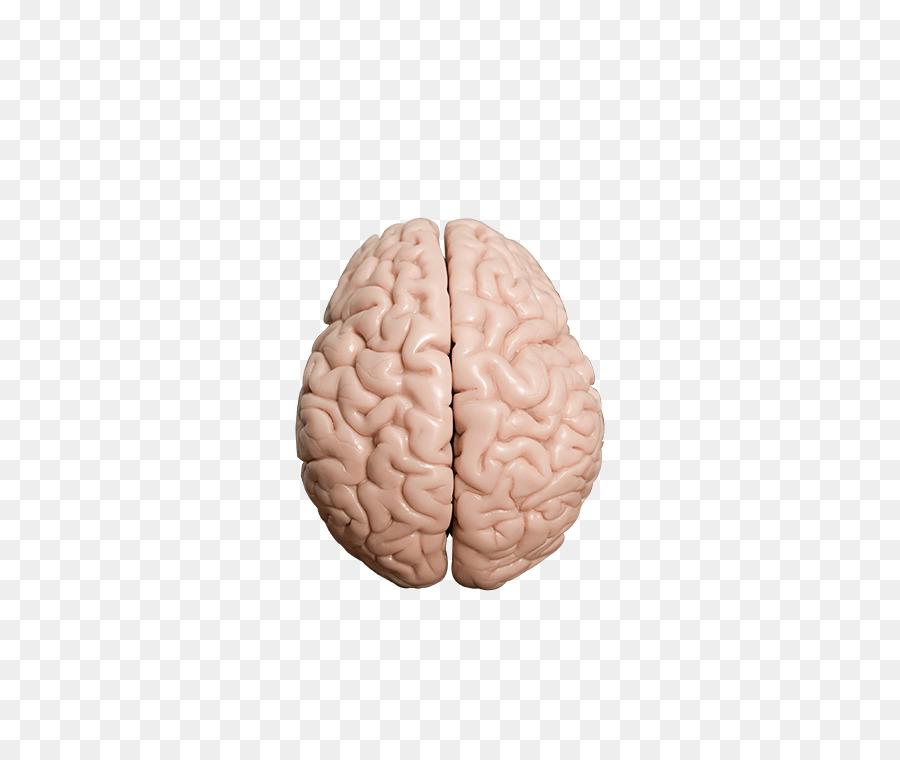 Human brain Homo sapiens Brain Test - Brain Test png download - 500 ...