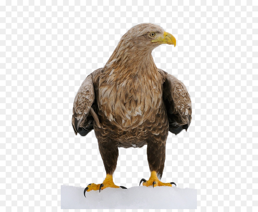 Bird Decorah Bald Eagles Character structure - eagle png download ...