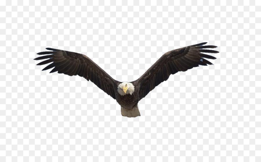 Benton lake national wildlife refuge bald eagle flight bird flying benton lake national wildlife refuge bald eagle flight bird flying eagle altavistaventures Gallery