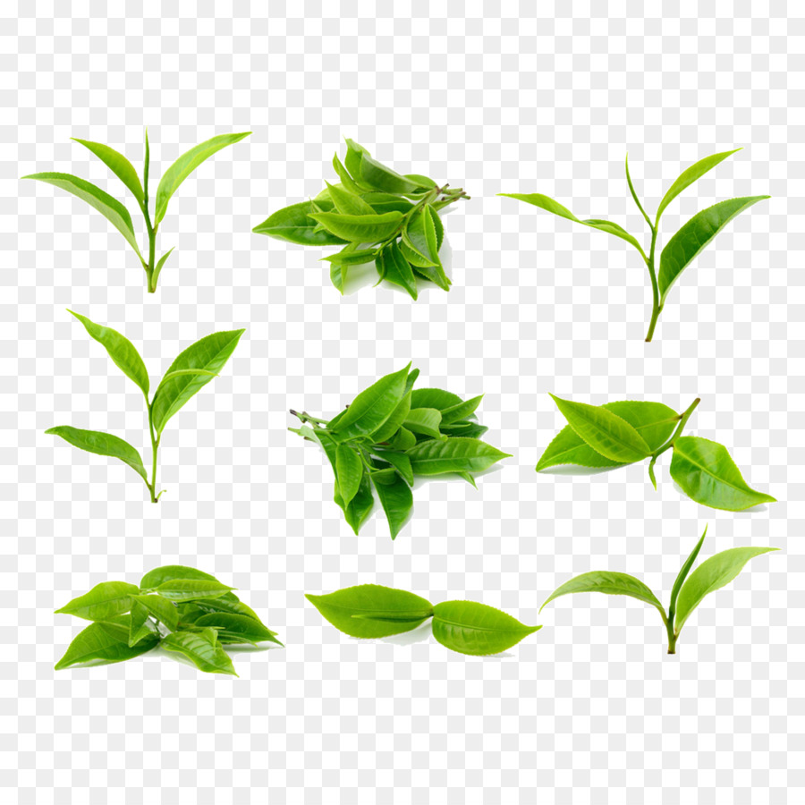 Green Tea Stock Photography Processing Leaves