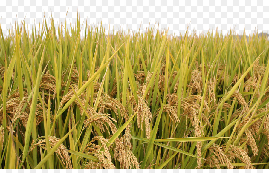 rice paddy field rice paddy png download 1024645