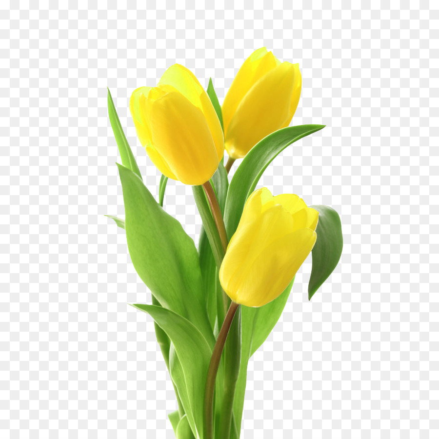 Tulip flower bouquet yellow tulip png download 600900 free tulip flower bouquet yellow tulip mightylinksfo