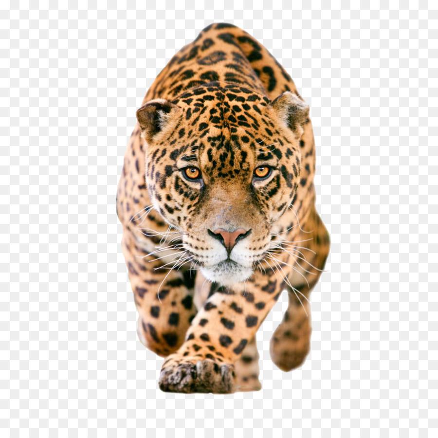 Leopard Png Download