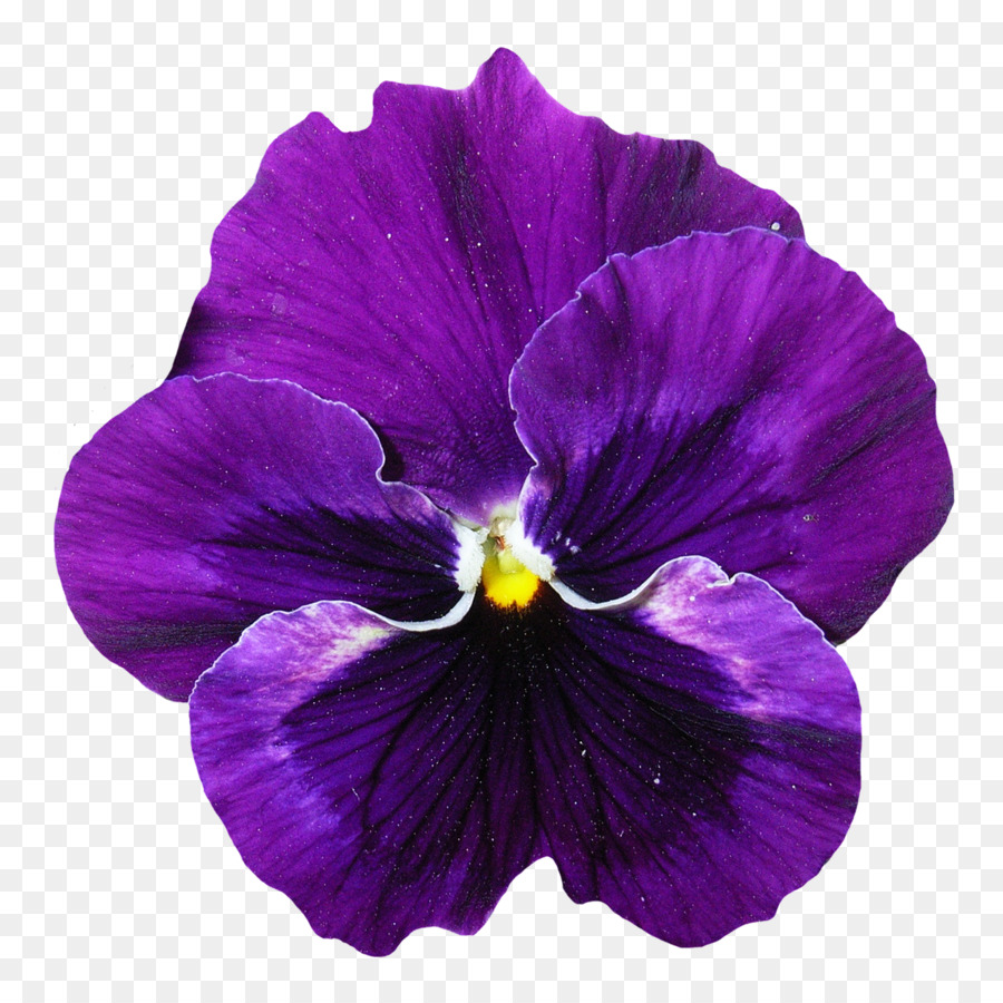 Pansy Violet Flower Pansy Flower Png Download 12501250 Free