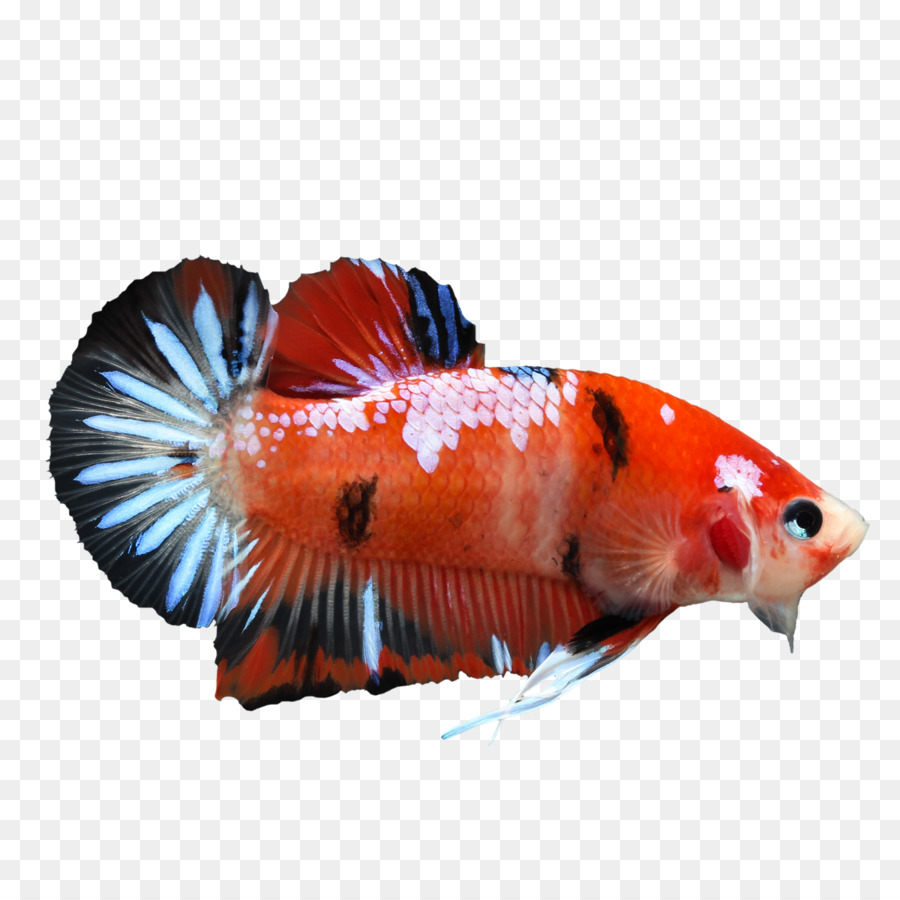 Koi Veiltail Siamese fighting fish - Betta PNG Pic png download ...