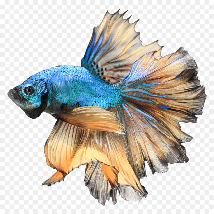 Siamese Fighting Fish Betta Channoides Aquarium Stock Photography