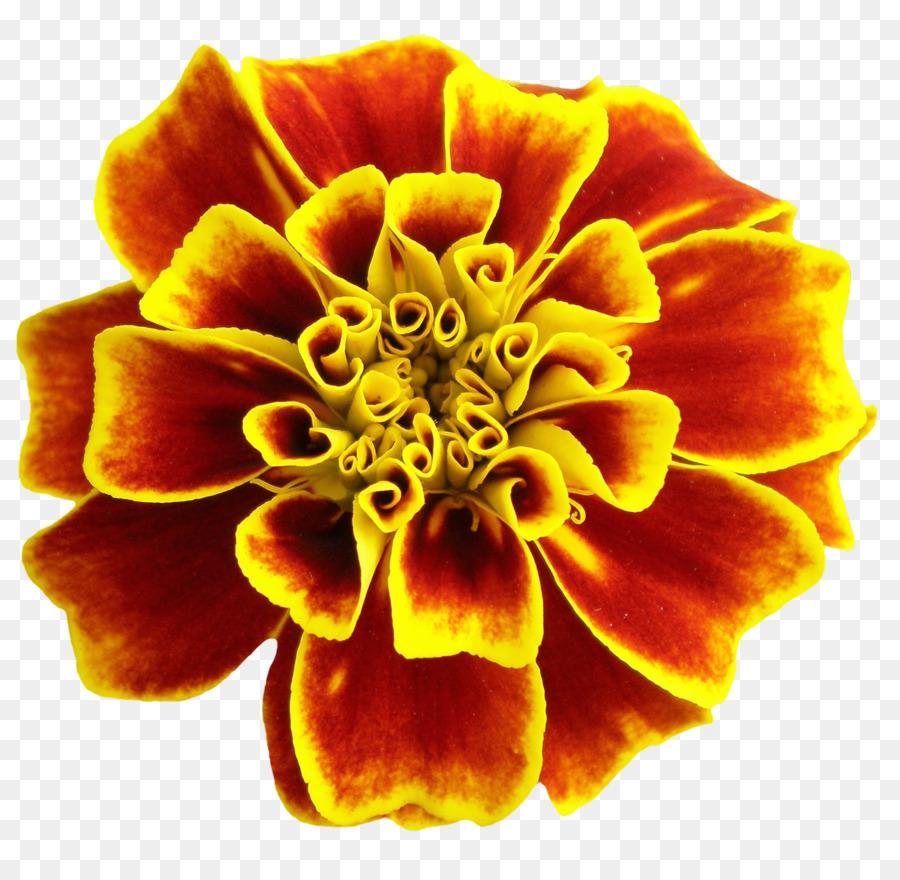Flower Png Download 11001066 Free Transparent Orange Png Download