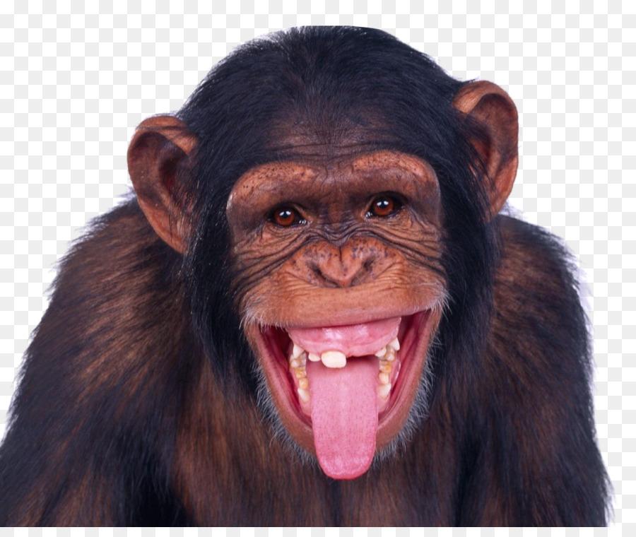 https://banner2.kisspng.com/20180131/wbw/kisspng-monkey-chimpanzee-ape-monkey-5a71f9528ad846.3146343815174188345687.jpg