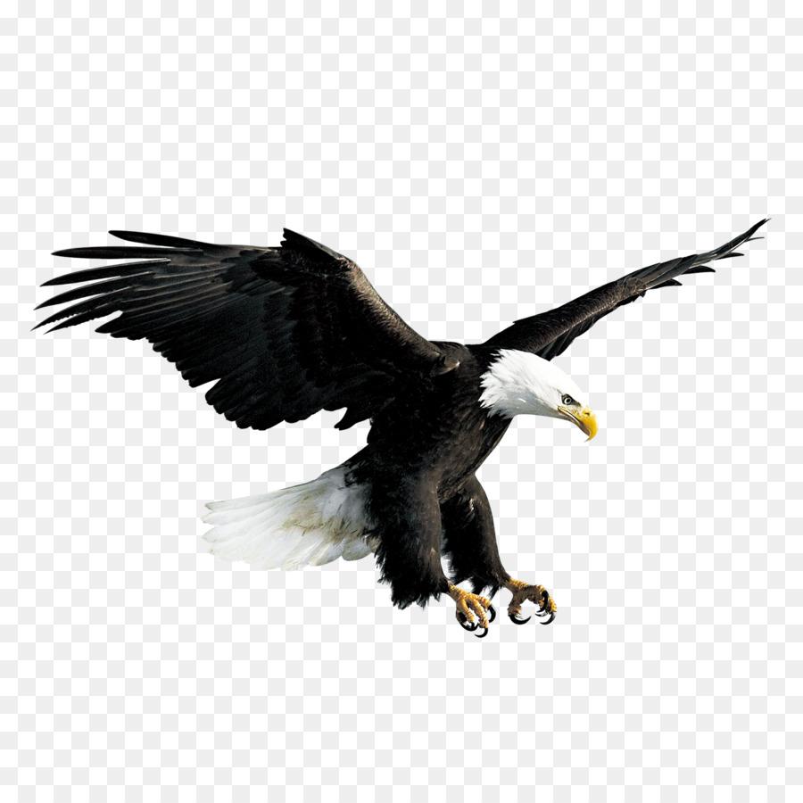 Bald eagle hawk falconiformes flying eagle png download 2500 bald eagle hawk falconiformes flying eagle altavistaventures Gallery