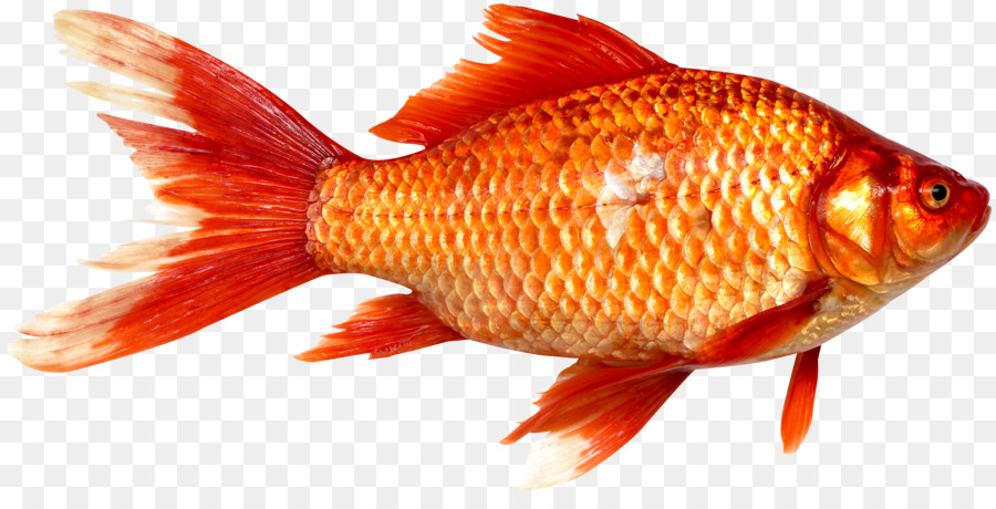 Peces de colores de prusia de la carpa de pescado como for Carpa comida