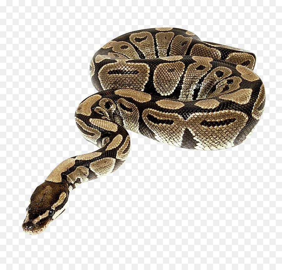 Serpiente Pitón De Reptiles - La serpiente png dibujo - Transparente ...