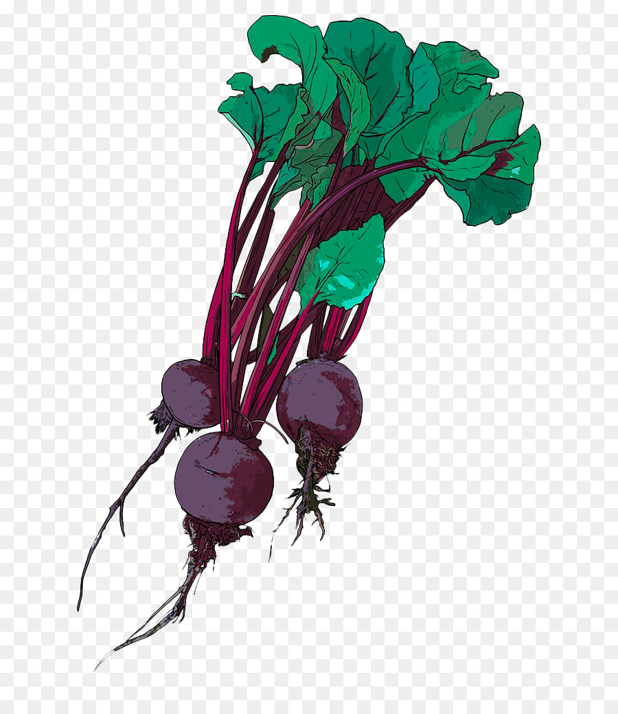 Chard Drawing Beetroot Illustration - Hand-painted purple beetroot ... for Drawing Beetroot  588gtk