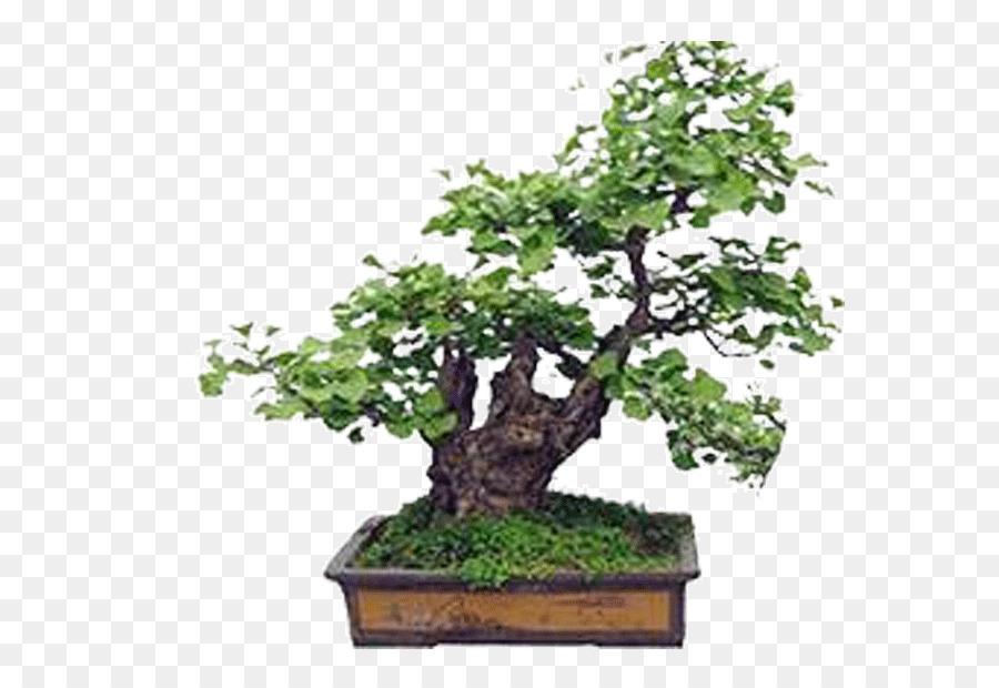 Bonsai Ginkgo Biloba Seed Tree Plant Flower Bed Png Download 622