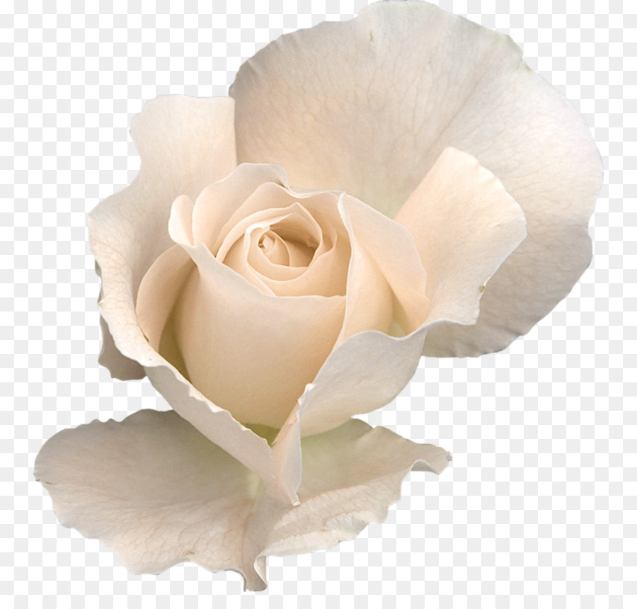 Rose flower clip art white rose transparent png png download 839 rose flower clip art white rose transparent png mightylinksfo